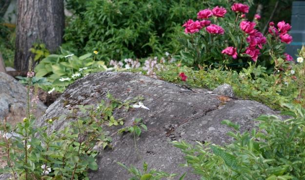 Clematis och kanadensisk klätterros